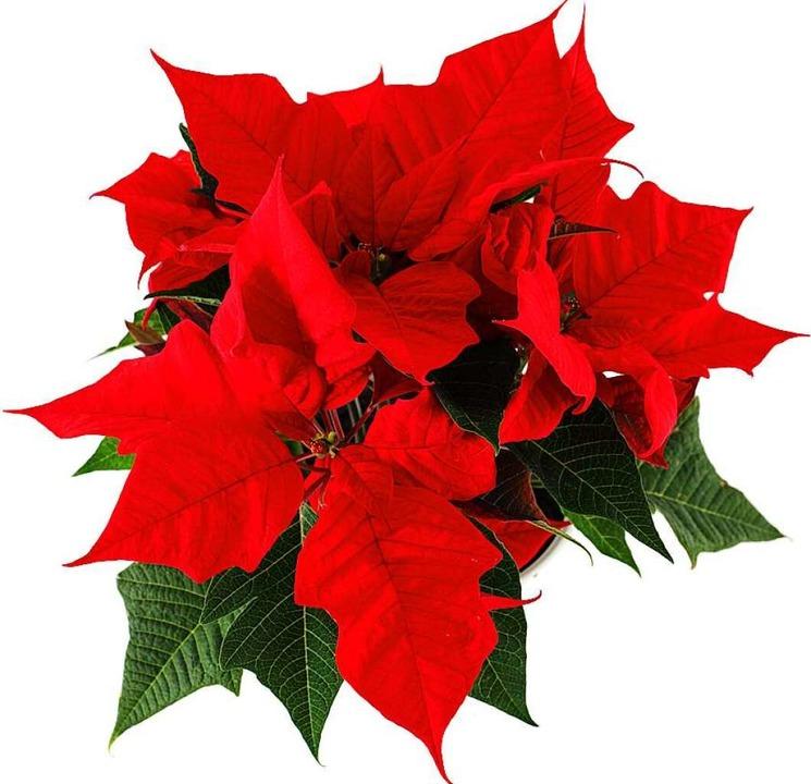 Für die einen ein Weihnachts-, für die anderen ein Osterstern.    Foto: sonne07  (stock.adobe.com)