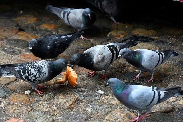 Tauben, Krähen und Enten dürfen in Lörrach nicht gefüttert werden