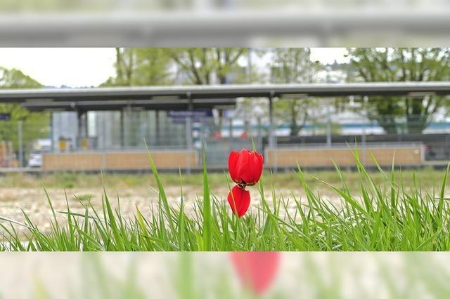 Solo für Tulpe