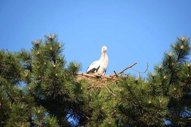 Störche haben neuangelegtes Sasbacher Nest bezogen