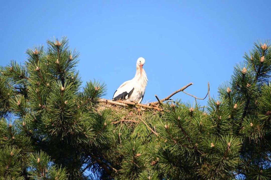 Auf der Spitze des Baumes haben Arbeit...es sich jetzt darin gemütlich gemacht.  | Foto: Roland Vitt