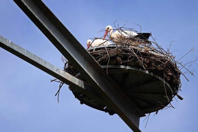 Störche in der Region Freiburg sind auf der Suche nach Nestern