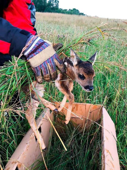 Ein Helfer rettet ein Rehkitz vor dem qualvollen Tod unterm Balkenmäher  | Foto: Jägervereinigung Offenburg