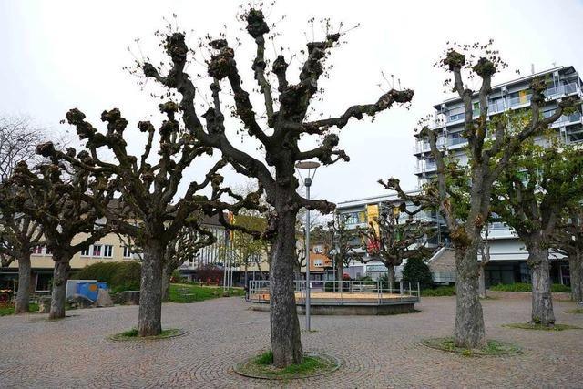 Die Kastanien vor dem Rheinfelder Rathaus halten nicht mehr lange durch