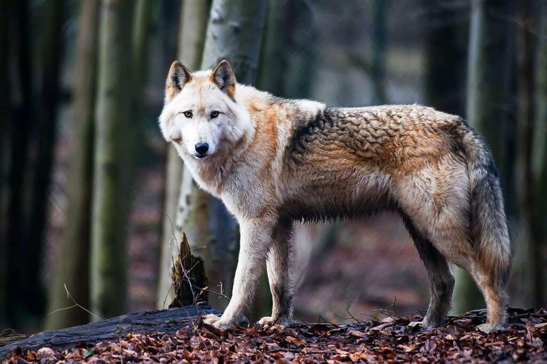 Der Wolfshybride Raik in einer Auffangstation im thüringischen Worbis.  | Foto: Swen Pförtner (dpa)