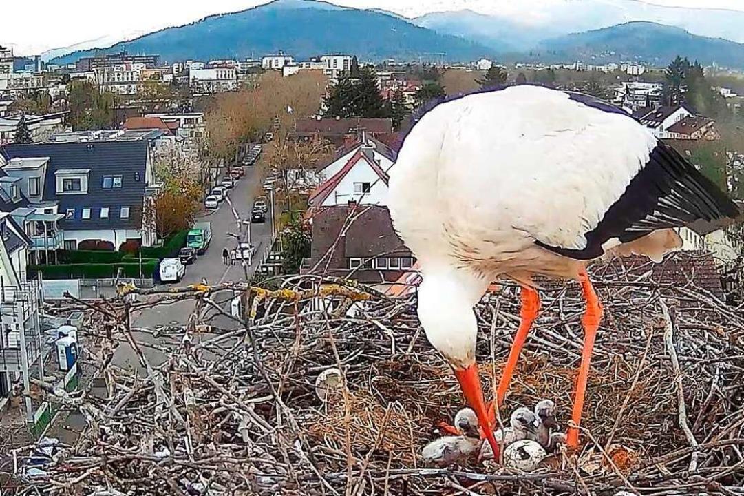 Das Storchennest auf der Thomaskirche wird von eine Webcam gefilmt.  | Foto: privat