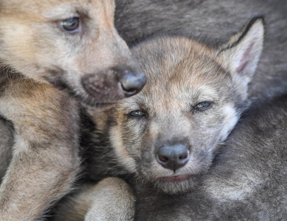 Mit der Aufzucht von Wolfswelpen (hier...gemacht haben, Wölfe zu domestizieren.  | Foto: Patrick Pleul (dpa)