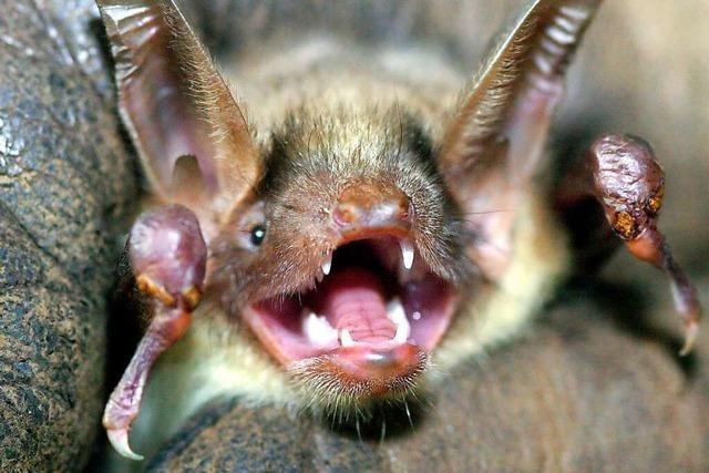 Wie Fledermäuse quasi mit ihren Ohren sehen