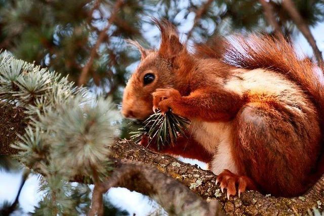 Knabberndes Eichhörnchen auf der Haid