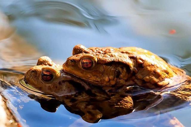 Kuscheln diese Kröten im Waldsee nur, oder...?
