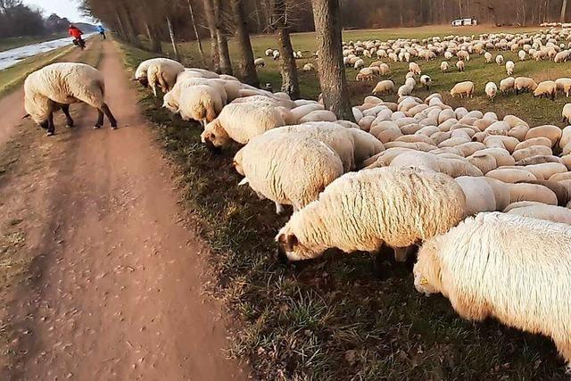 Schafe am Dreisamuferweg bei Lehen
