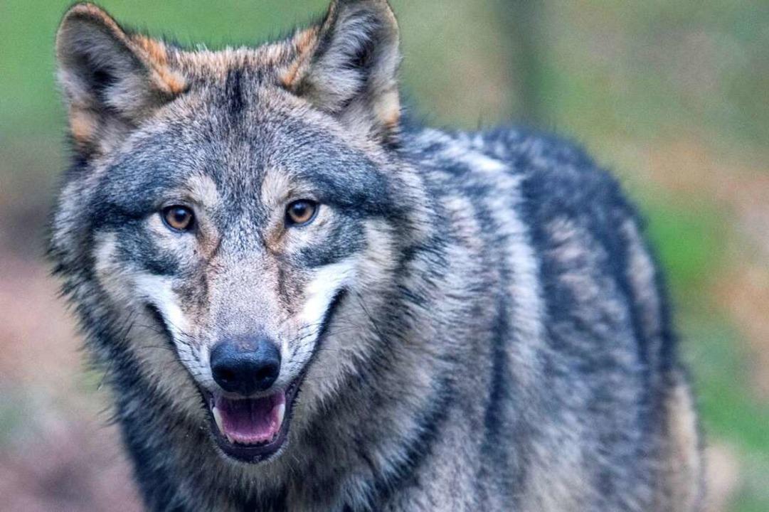 Dieser Wolf lebt in einem Wildtierpark in Hessen.  | Foto: Boris Roessler (dpa)