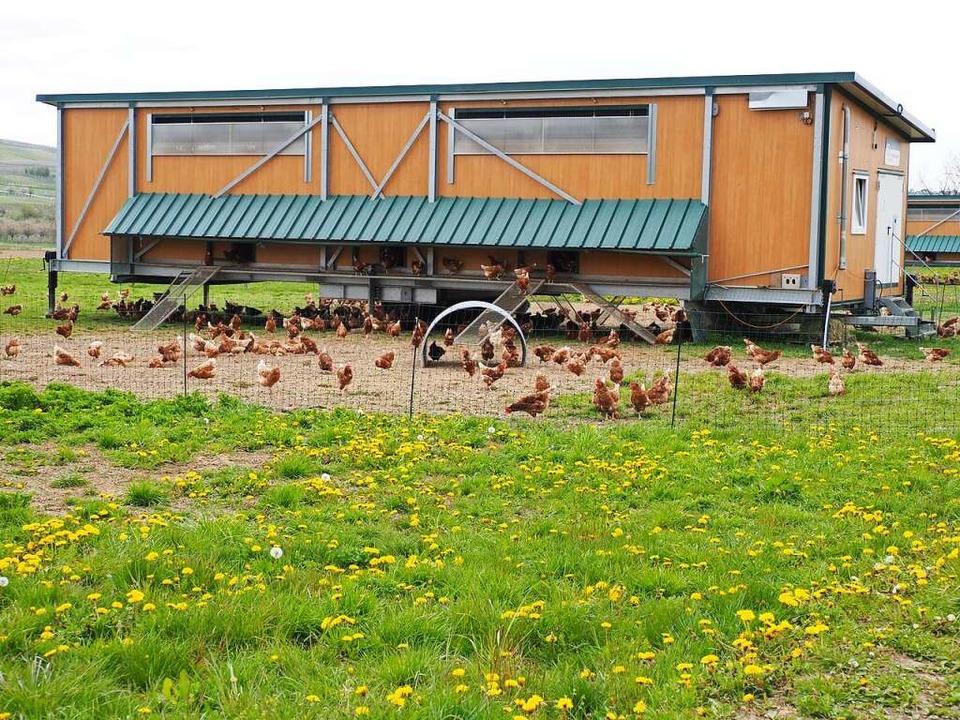 Nur abends gehen die Hühner des Seebodenhofs in ihre mobilen Ställe.    Foto: Herbert Frey