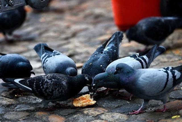 Stadt soll für mehr Taubenschläge und damit für weniger Ärger sorgen