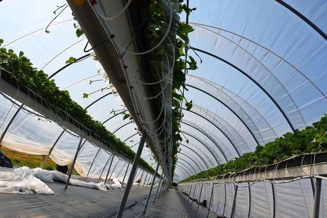Warum ein Jung-Landwirt Erdbeeren auf Brusthöhe anbaut
