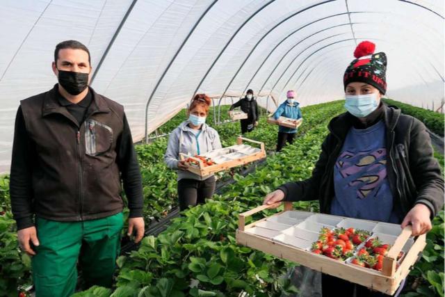Die ersten Erdbeeren im Breisgau kommen aus dem Folientunnel
