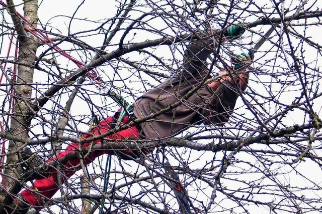 Bei den Streuobstbäumen auf dem Tüllinger ist der Ertrag nicht das Wichtigste