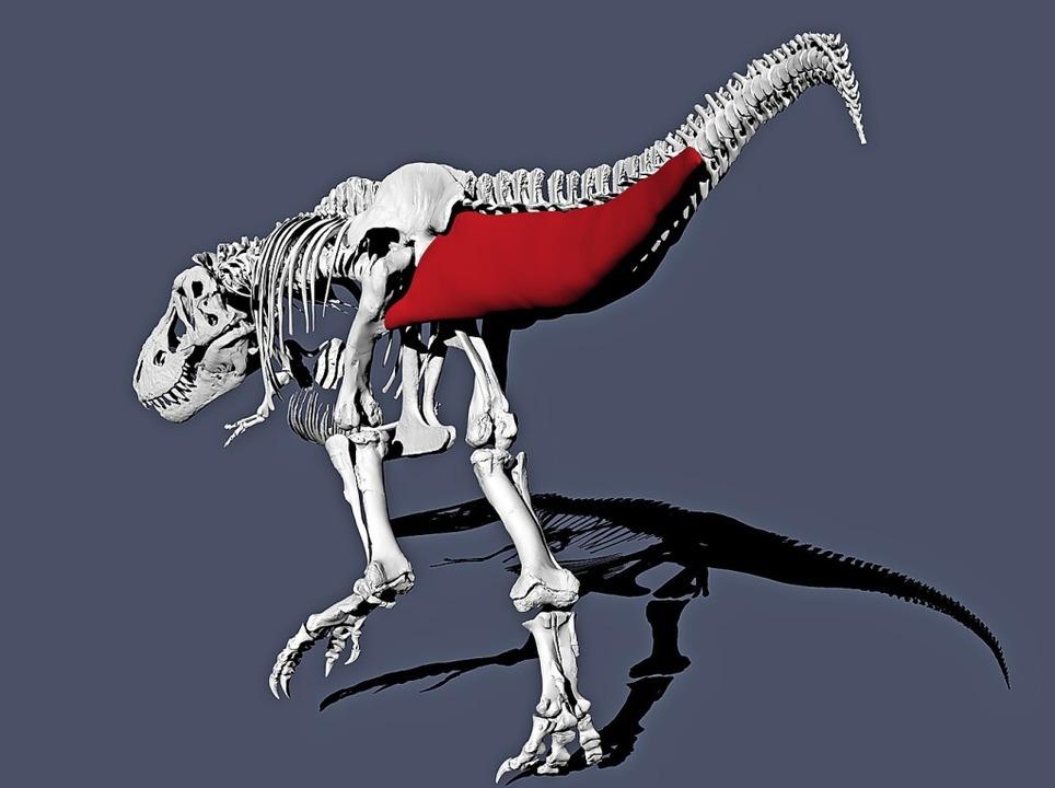 Der T.rex war eher gemächlich unterweg...igt eine Schwanzmuskelrekonstruktion.     Foto: Pasha van Bijlert (dpa)