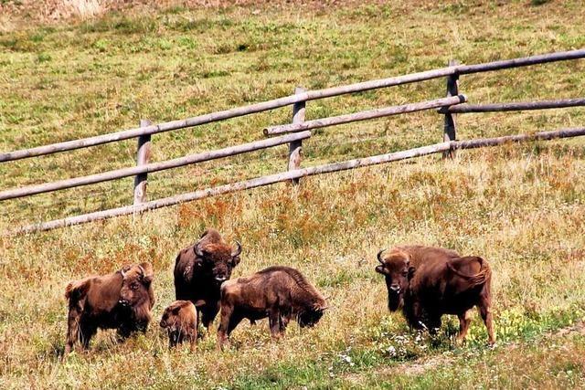 Auf dem Rinderlehrpfad Gersbach lernen Kinder Tiere hautnah kennen
