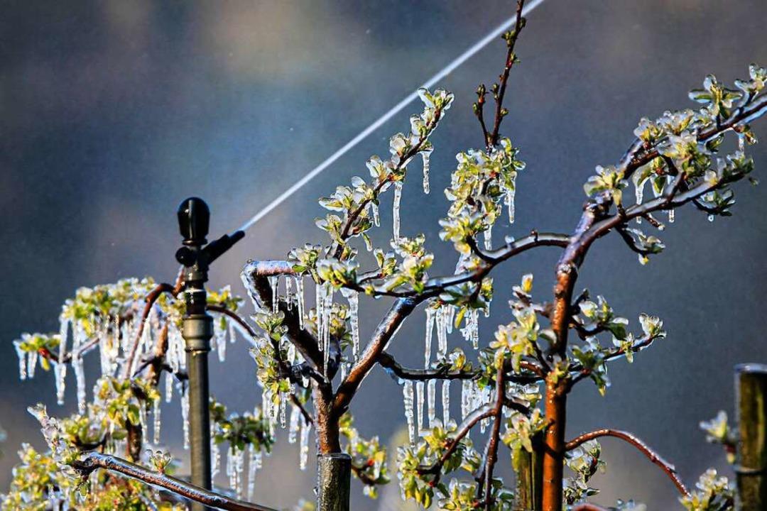 Bei Frost wurden in Gottenheim Apfelblüten beregnet.    Foto: Hubert Gemmert