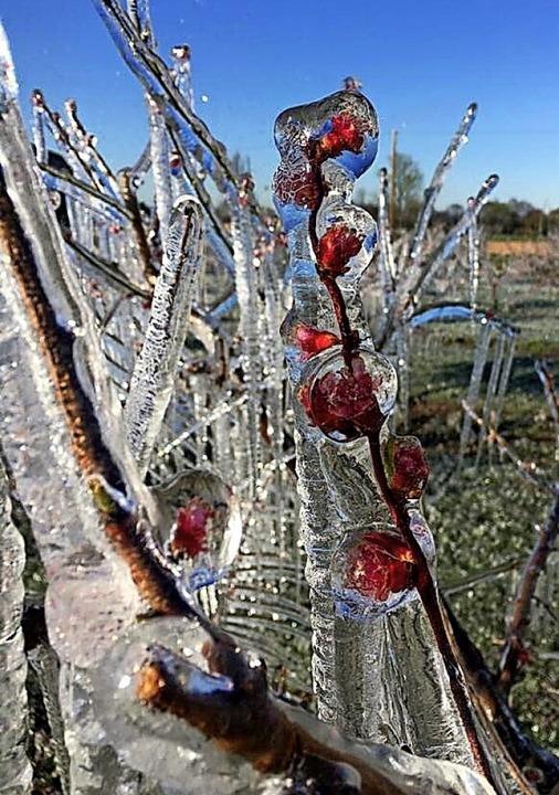 Eis zum Schutz vor Frost: Denzlinger Obstbäume nach der Beregnung    Foto: Sascha Ingold
