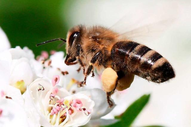 Bienen und Imker in der Region Freiburg warten auf den Frühling