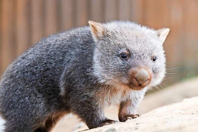 Cooper, der kleine Tasmanische Nacktnasen-Wombat aus Hannover