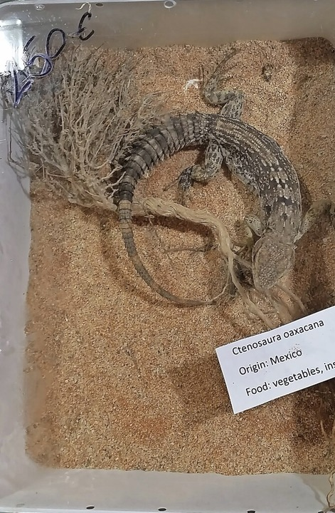 In Mexiko gefangen, in Deutschland legal auf einer Messe verkauft.    Foto: Privat