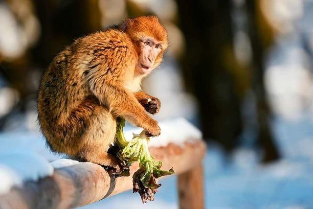 Zehn Affen brechen aus Löffinger Tierpark aus - schon wieder