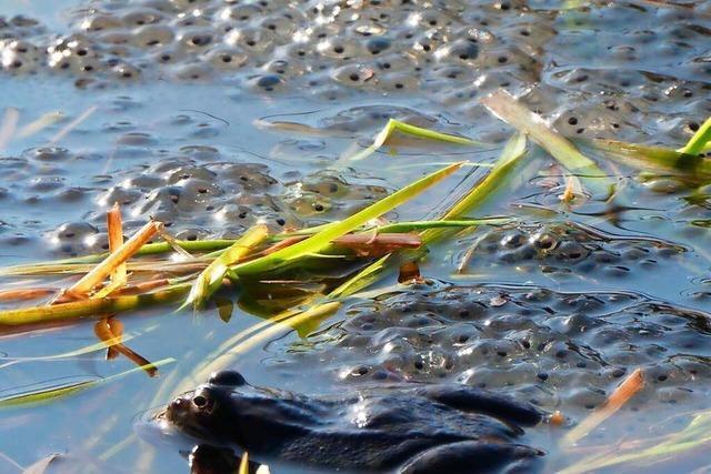 Ein Frosch und Froscheier bei Falkau