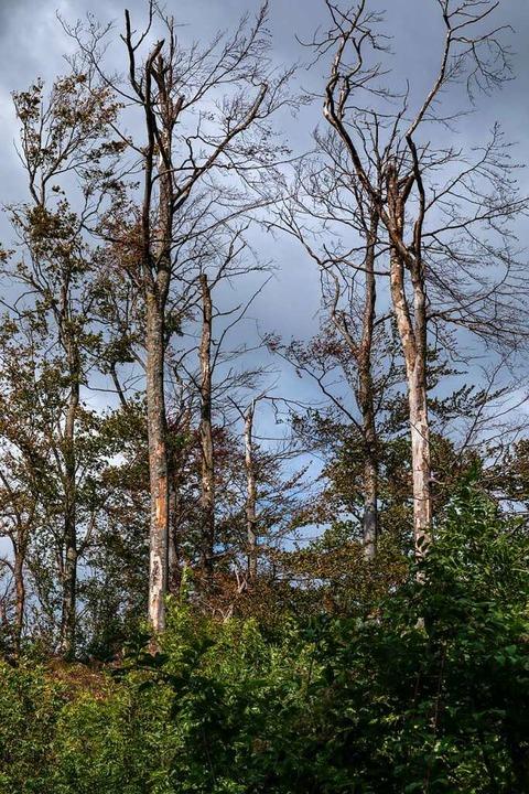 Kranke und abgestorbene Bäume am Schönberg – sie mussten gefällt werden.    Foto: Hubert Gemmert