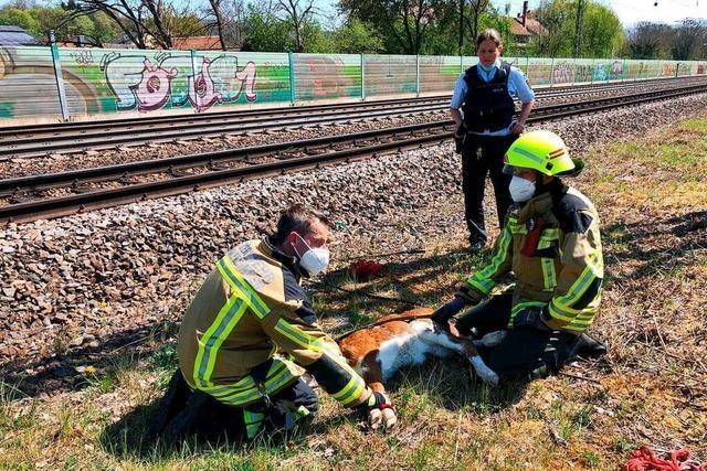 Bahnstrecke bei Emmendingen muss wegen entlaufenen Kalbs gesperrt werden