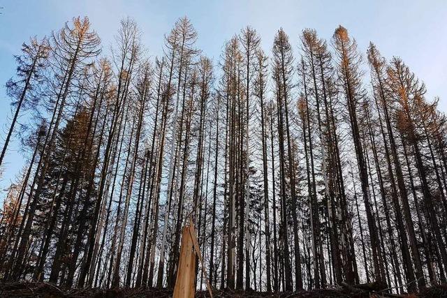 Der Schwarzwald leidet wie noch nie