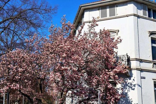 Ein Magnolienbaum an der Dreisamstraße in Freiburg