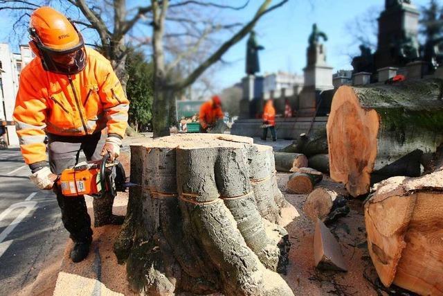 Abgesägt und kaputt gepflegt – vom Umgang mit Stadtbäumen