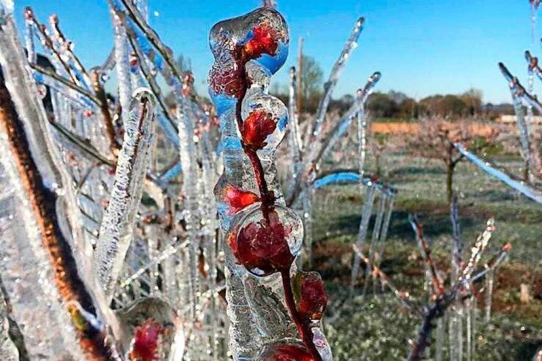 Der April war so kalt wie lange nicht....er wie Zwetschgen- und Aprikosenbäume.  | Foto: Sascha Ingold