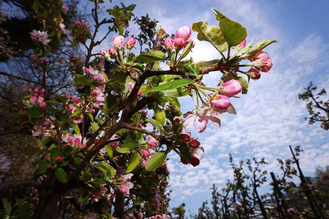 Wegen der kühlen Temperaturen der verg...hen hat sich die Apfelblüte verzögert.  | Foto: Karl-Josef Hildenbrand (dpa)