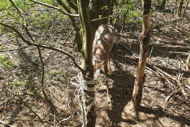 Jäger muss Rehbock töten, der sich in einem Weidezaun verfing
