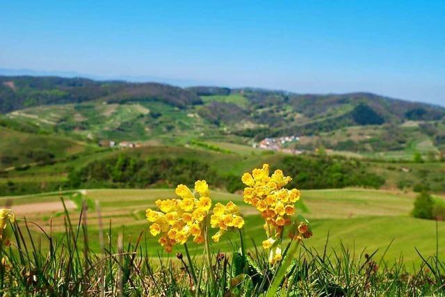 Frühling am Kaiserstuhl am Haselschacher Buck