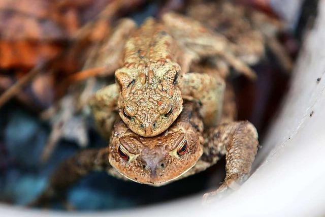 Die Zahl der Erdkröten in Lahr, Ettenheim und Neuried geht stark zurück