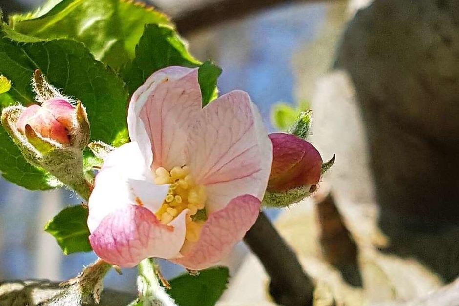 Die erste Apfelblüte  am Mauracher Berg in Denzlingen in diesem Jahr entdeckte Claudia Hermes. (Foto: Claudia Hermes)
