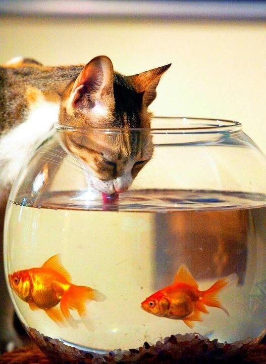 Feinschmecker auf vier Pfoten: Diese K...Süßes stehen Katzen dagegen gar nicht.    Foto: Jorge Ferrari