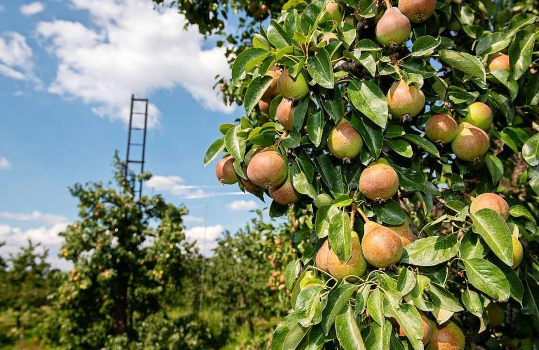Zukünftig will Schladerer von eigenen Birnenbäumen ernten.  | Foto: Daniel Reinhardt