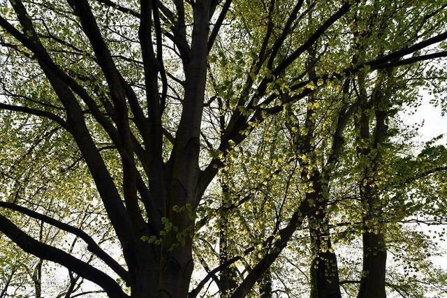 Offenburg will die Standortbedingungen für Stadtbäume neu denken