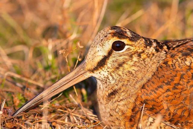 Diesen Vogel kennt kaum jemand – doch er lebt in ganz Südbaden