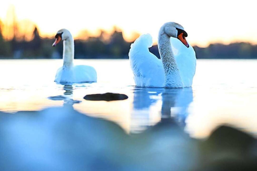 Hier macht man gerne Urlaub: Bodensee-Idylle mit Schwänen  | Foto: Felix Kästle (dpa)