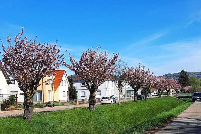 Die Geschichte der Friesenheimer Kirschbaumallee