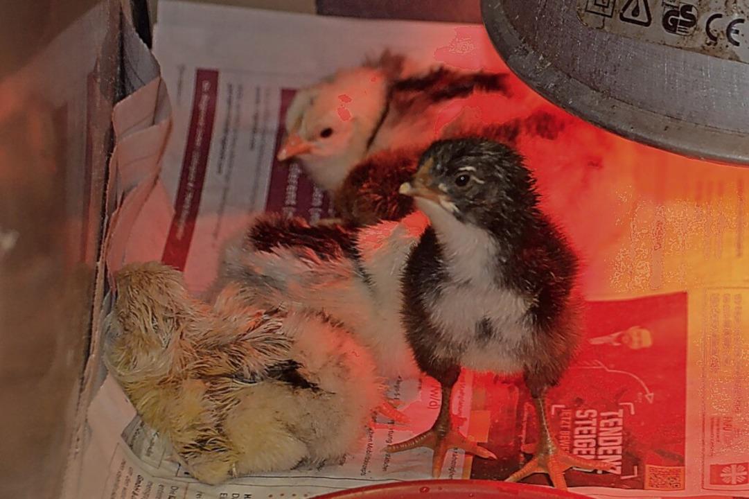 Eng haben sich die Küken unter der Rot...rm wie unter dem Federkleid der Henne.    Foto: Christiane Sahli