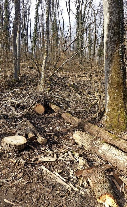 Im Wald, wie hier bei Neuershausen, werden Eschen  geschlagen.    Foto: Manfred Frietsch