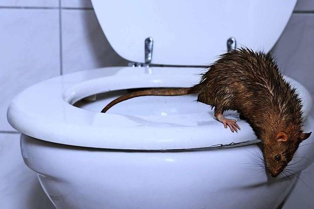 Ratten werden in Grenzach-Wyhlen mit Köderschutzboxen bekämpft